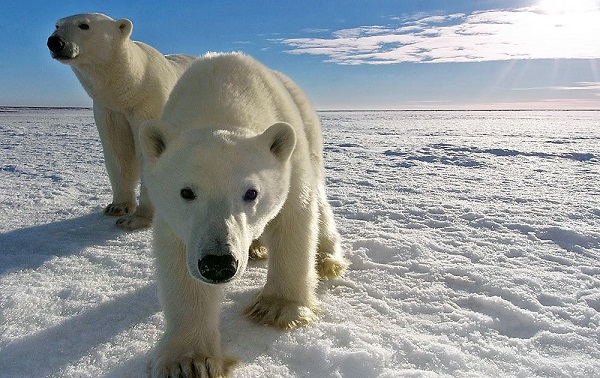 The impact of modern climate change is forcing many polar bears to wander into populated areas in search of food.